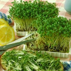 Кресс-салат – трава семейства крестоцветные
