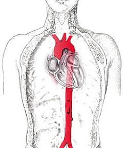 Грудная аорта