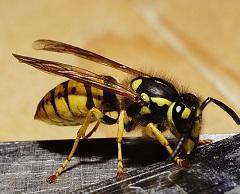 Первая помощь при укусе осы