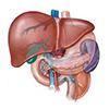 О гепатологии