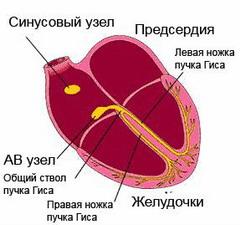 Механізм утворення атріовентрикулярної блокади