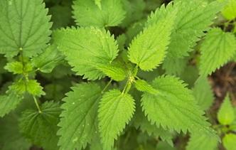 7 сорных растений, полезных для здоровья