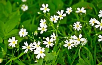 Целебный сорняк: 5 рецептов с использованием мокрицы