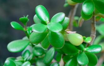 Денежное дерево: 6 способов применения в народной медицине